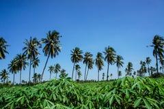 Plantación del coco y granja de la mandioca Imagen de archivo