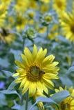 Plantación del girasol con la abeja en primero plano de la flor Imágenes de archivo libres de regalías