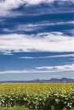 Plantación del girasol con un cielo azul y las nubes Foto de archivo