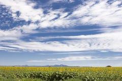 Plantación del girasol con un cielo azul y nublado Foto de archivo