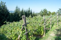 Plantación del idaeus L del Rubus de las frambuesas Foto de archivo