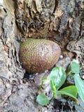 Plantación del Jackfruit Imágenes de archivo libres de regalías