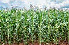 Plantación del maíz fotografía de archivo libre de regalías