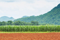 Plantación del maíz en Tailandia fotografía de archivo