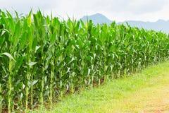 Plantación del maíz en Tailandia imagenes de archivo