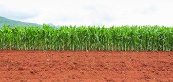 Plantación del maíz en Tailandia foto de archivo libre de regalías