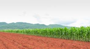 Plantación del maíz en Tailandia fotos de archivo libres de regalías
