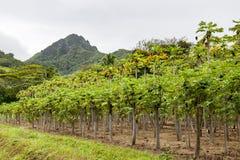 Plantación del mango, Rarotonga, cocinero Islands, Océano Pacífico Fotos de archivo libres de regalías