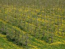 Plantación del manzano, árboles en filas, en la tierra un prado con los dientes de león florecientes, con los carriles en el prad Foto de archivo