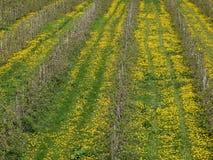 Plantación del manzano, árboles en filas, en la tierra un prado con los dientes de león florecientes, con los carriles en el prad Imágenes de archivo libres de regalías