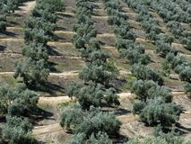 Plantación del olivo Fotografía de archivo
