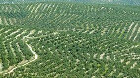 Plantación del olivo cerca de Úbeda, España Fotografía de archivo