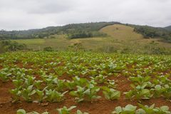 Plantación del tabaco Imagen de archivo