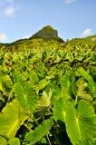 Plantación del taro en una isla en el Pacífico fotografía de archivo