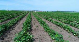 Plantación grande de fresas, campo de la fresa, campo bien conservado grande de la fresa almacen de metraje de vídeo