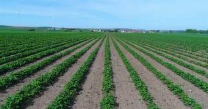 Plantación grande de fresas, campo de la fresa, campo bien conservado grande de la fresa metrajes