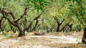 plantación Jardín mediterráneo, primer la rama Crete, Grecia fotos de archivo