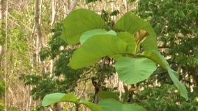 Plantación joven del árbol de la teca, escena del bosque, Myanmar almacen de video