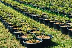 Plantación maderera Foto de archivo