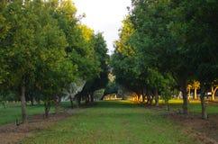 Plantación maderera anaranjada Imagenes de archivo
