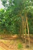 Plantación maderera de goma en Thailad Imagen de archivo