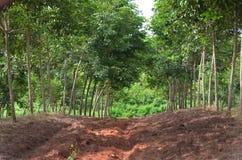 Plantación maderera de goma en Thailad Fotos de archivo