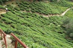 Plantación maderera del té Fotos de archivo libres de regalías