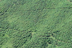 Plantación maderera del té Foto de archivo