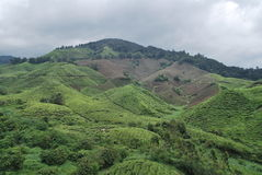 Plantación maderera del té Foto de archivo libre de regalías