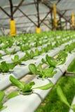 Plantación orgánica de Hydrophonic Foto de archivo