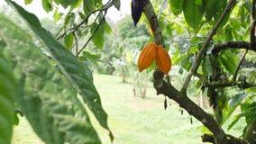 Plantación orgánica de la fruta del cacao Vainas amarillas que crecen en el árbol 4K Bali, Indonesia almacen de metraje de vídeo