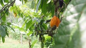 Plantación orgánica de la fruta del cacao Vainas de Yelow que crecen en el árbol 4K Bali, Indonesia almacen de metraje de vídeo