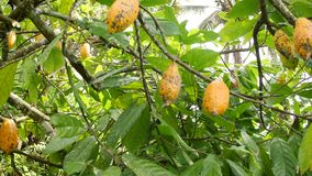 Plantación orgánica de la fruta del cacao Vainas de Yelow que crecen en el árbol 4K Bali, Indonesia almacen de video