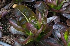 Plantación roja de la verdura de la lechuga Cos Imagenes de archivo
