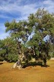 Plantación típica con los olivos viejos de la singularidad en la región de Apulia imagen de archivo