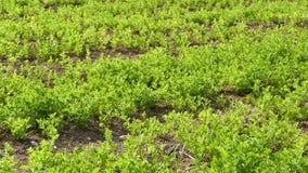 Plantación verde de la lenteja, planta de lenteja cultivada en el campo, cierre para arriba, almacen de video