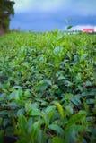Plantación verde de las hojas de té en Lam Dong, Vietnam Fotografía de archivo