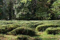 Plantación verde del té con el bosque en fondo Foto de archivo