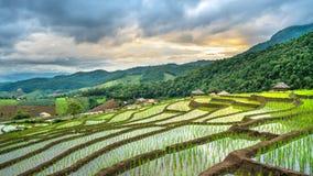 Plantación verde natural del campo del arroz fotografía de archivo libre de regalías