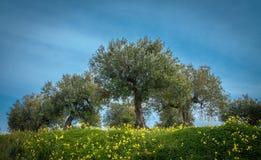 Plantación verde oliva Fotografía de archivo