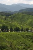 plantaci azjatykcia herbata Obraz Royalty Free