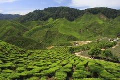 plantaci herbata Obraz Royalty Free