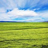 plantaci herbata Zdjęcie Stock