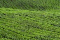 plantaci herbata Obrazy Stock