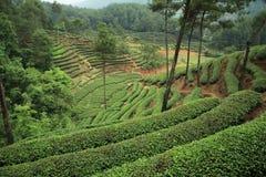 plantaci herbata Fotografia Royalty Free
