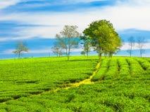 plantaci herbata Obraz Stock