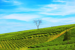 plantaci herbata Zdjęcia Royalty Free