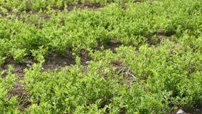 Plantaci?n verde de la lenteja, planta de lenteja cultivada en el campo, cierre para arriba, almacen de video