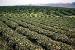 plantaci północna herbata Thailand zdjęcie royalty free