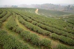 plantaci północna herbata Thailand obraz stock